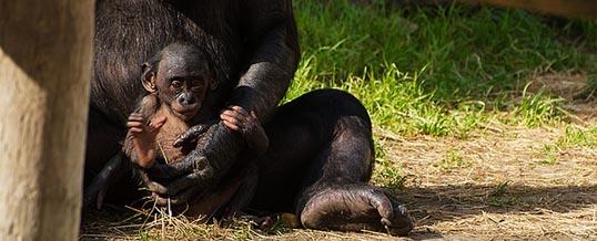 Jestem jak małpka Bonobo