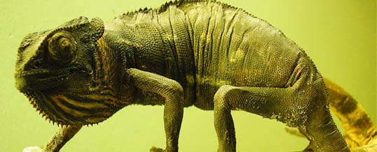 Efekt kameleona potwierdzony