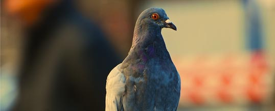Czy gołębie potrafią czytać emocje z ludzkiej twarzy?